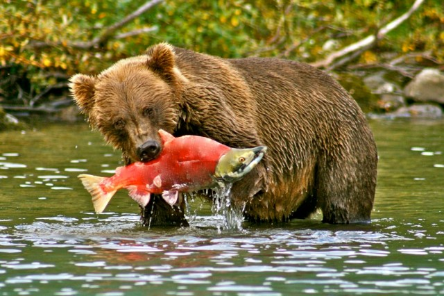 Bear-eating-Sockeye-1024x683