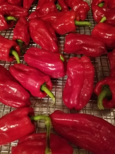 Aleppo style peppers before they are dried